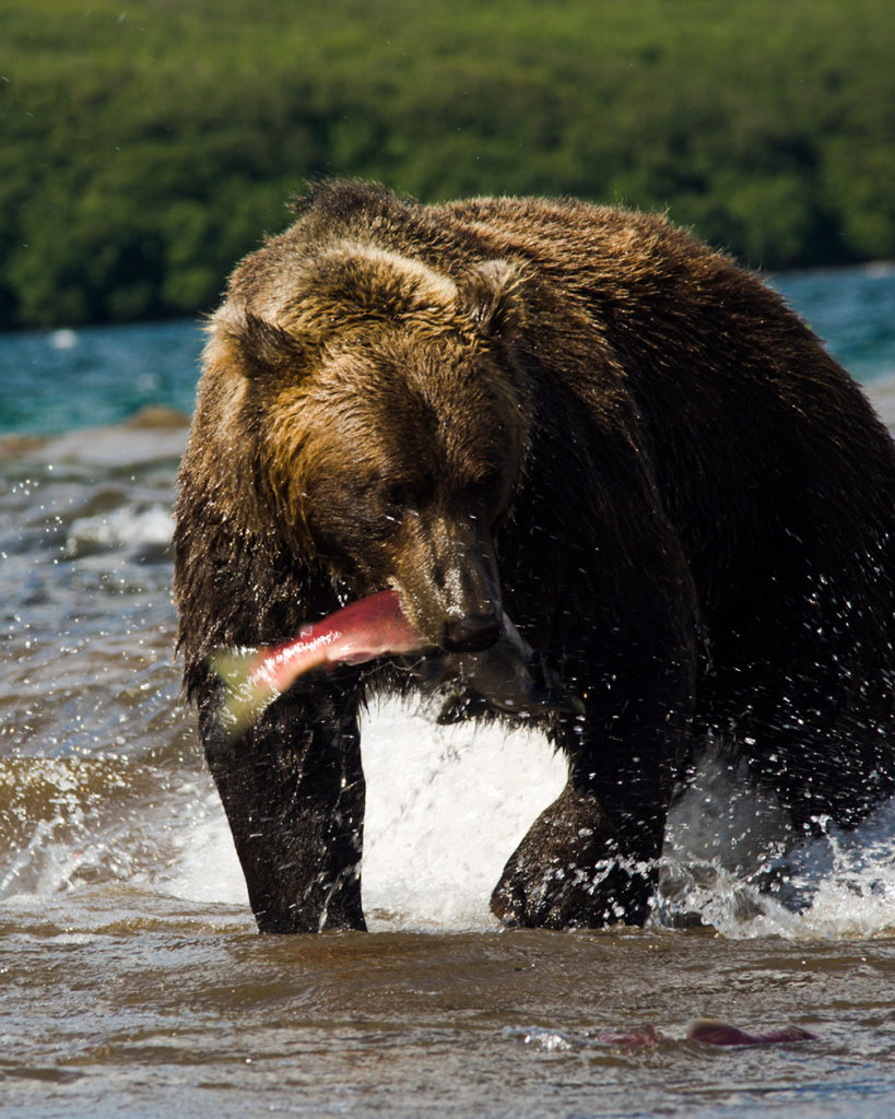 web-contactus-Bear-eating-salmon