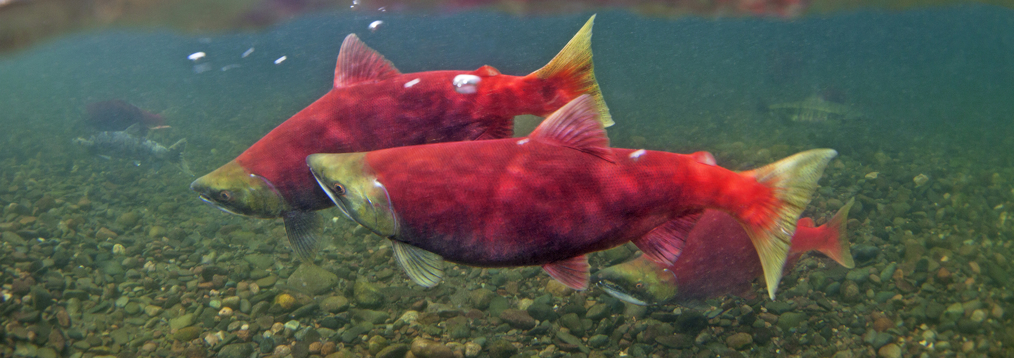 web-home-page-banner-cropped-Sockeye-Nushagak