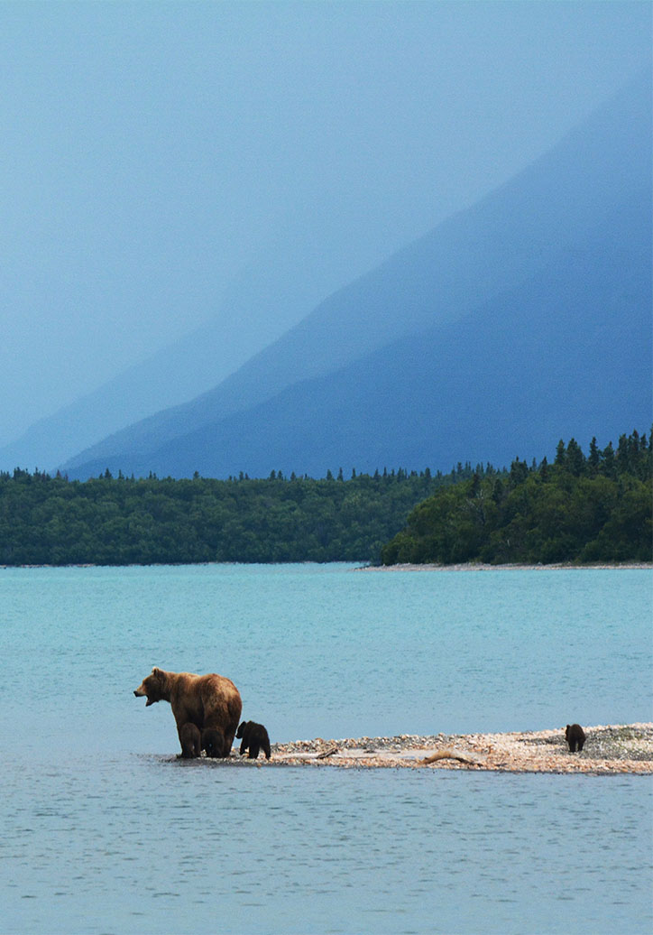 Bear with Cubs by Water in Alaska